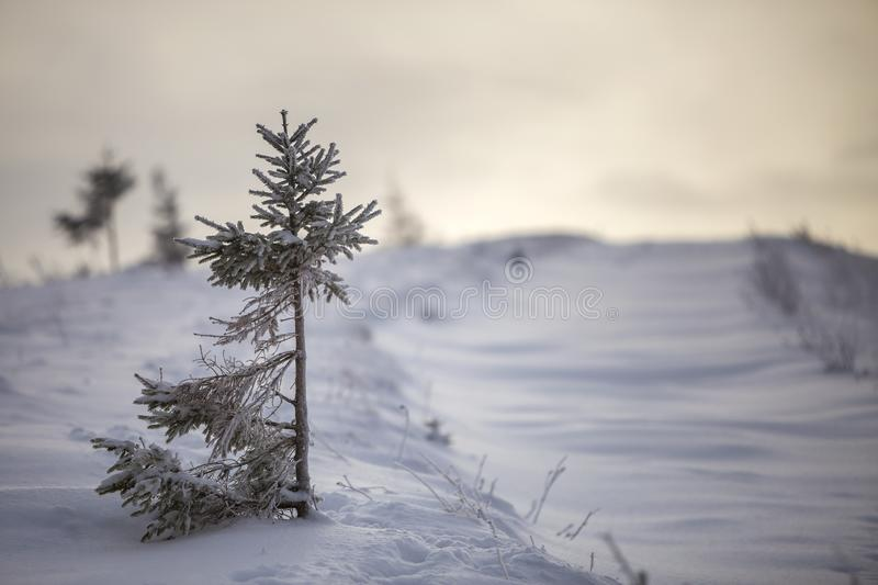 Winter landscape. Tall pine tree alone on mountain snowy slope on cold sunny day on blurred background of dense spruce forest.  royalty free stock image