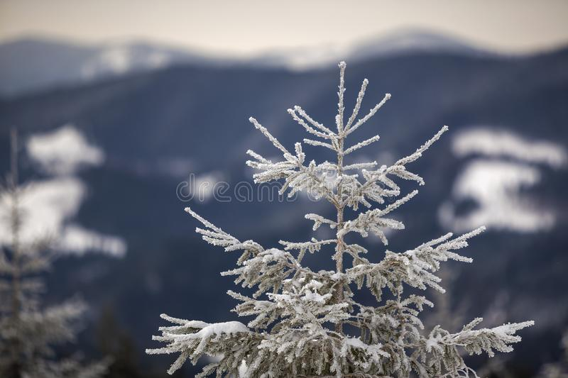 Winter landscape. Tall pine tree alone on mountain snowy slope on cold sunny day on blurred background of dense spruce forest.  stock photography