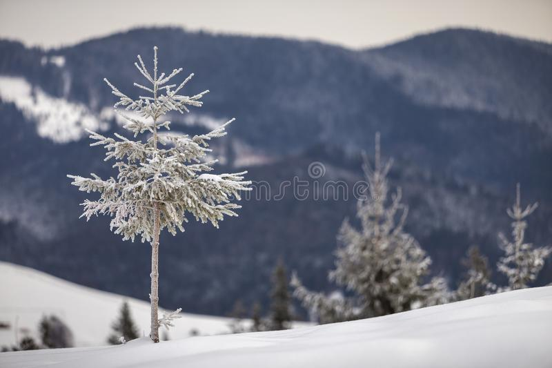 Winter landscape. Tall pine tree alone on mountain snowy slope on cold sunny day on blurred background of dense spruce forest.  stock photos