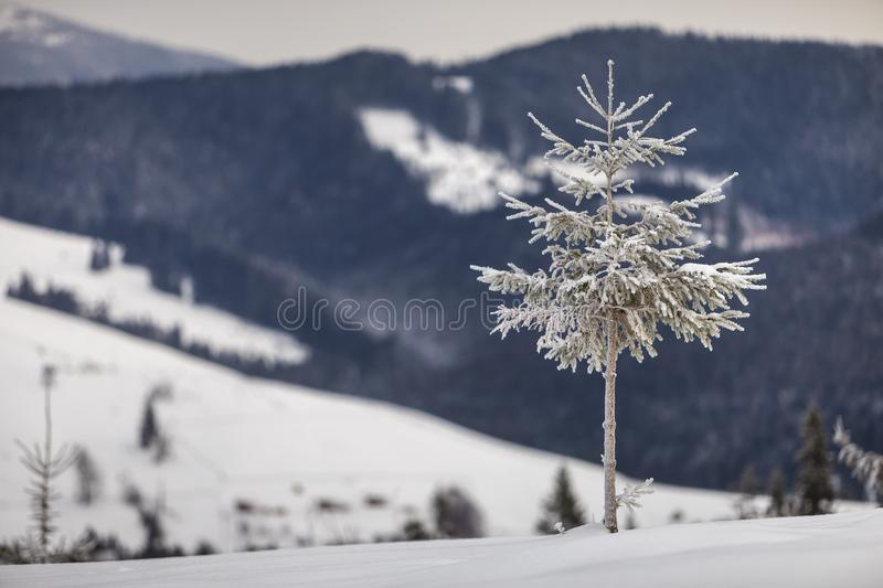 Winter landscape. Tall pine tree alone on mountain snowy slope on cold sunny day on blurred background of dense spruce forest.  stock images