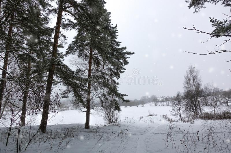 Winter landscape. Tall pines stand on the bank of a frozen lake royalty free stock photos