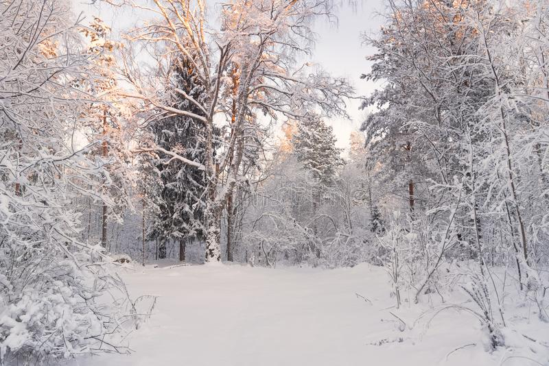 Winter Landscape.Trees Covered With Snow On Frosty Morning. Beautiful Winter Forest Landscape. Beautiful Winter Morning In A Snow- royalty free stock photography