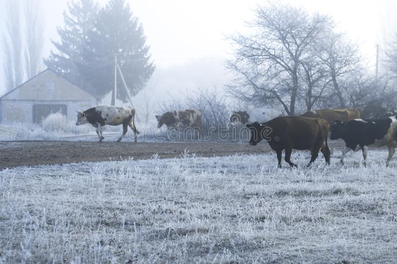 Winter landscape in the village. Cows go on a frosty morning road. stock photos