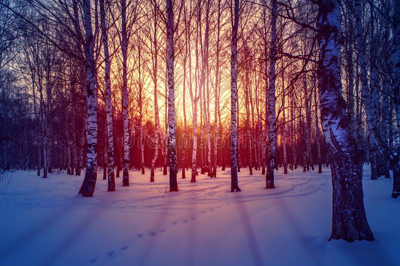 Winter landscape in the white birches forest at sunrise or sunset. Long blue shadows on the pink snow. royalty free stock photography