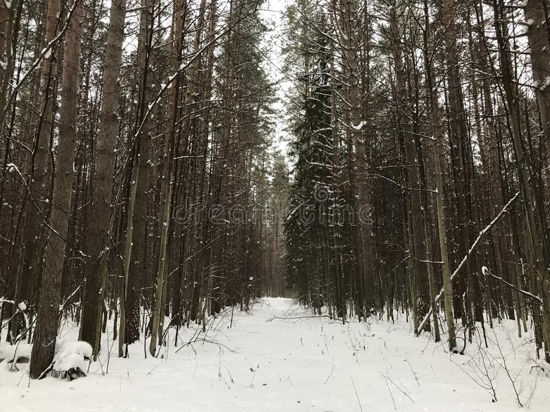 Winter lane in the woods. View of snow covered path among tall pine royalty free stock photography