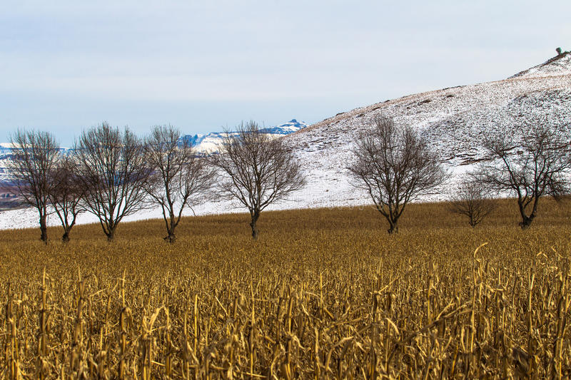 Download Winter Maize Field Dry Trees Snow Stock Photo - Image: 26145818