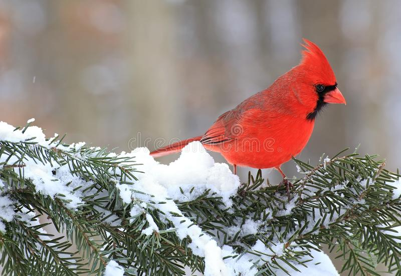 Winter Male Northern Cardinal. A beautiful male Northern Cardinal on a snowy spruce bough stock images