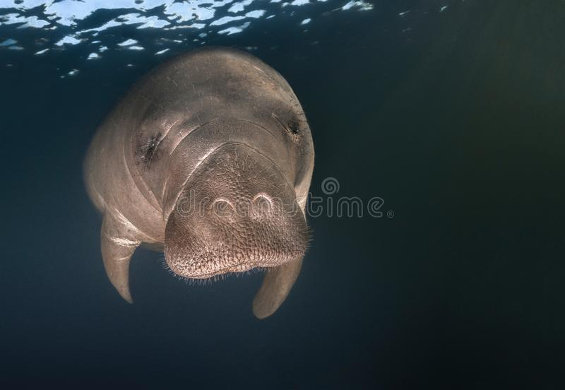 Manatee closeup portrait. During the winter, Manatees gather near the warm fresh water springs near the coast to stay warm. Photographed near Homosassa Springs stock photos