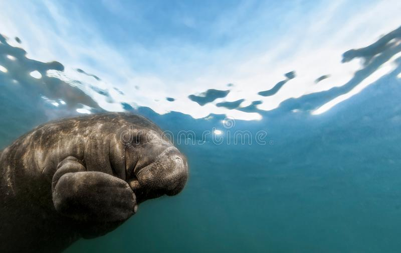 Photograph of Manatee swimming overhead. During the winter, Manatees gather near the warm fresh water springs near the coast to stay warm. Photographed near royalty free stock photo