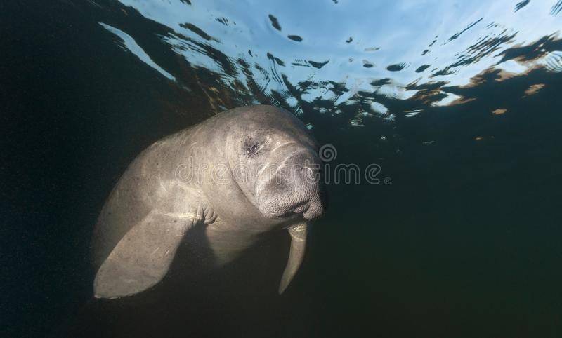 Manatee headshot. During the winter, Manatees gather near the warm fresh water springs near the coast to stay warm. Photographed near Homosassa Springs, Florida stock photography