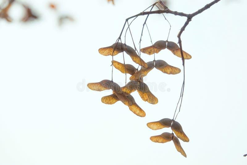 Winter maple fruits royalty free stock photo