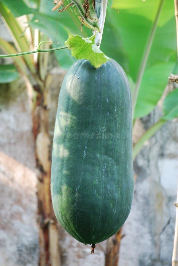 Free Winter Melon Stock Photo - 7479440