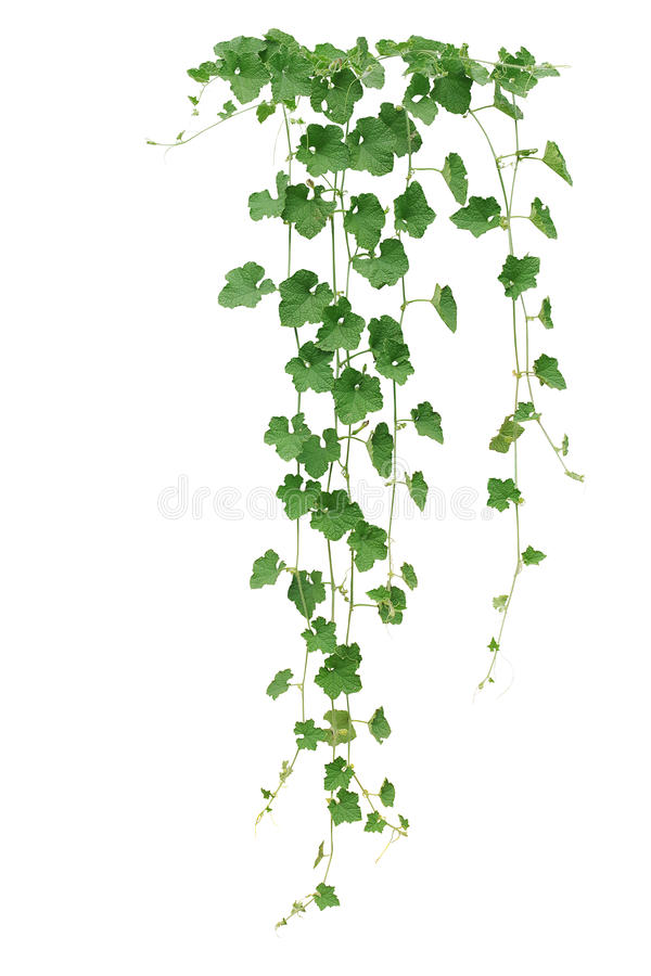 Winter melon or wax gourd vines with thick green leaves and tend royalty free stock photos
