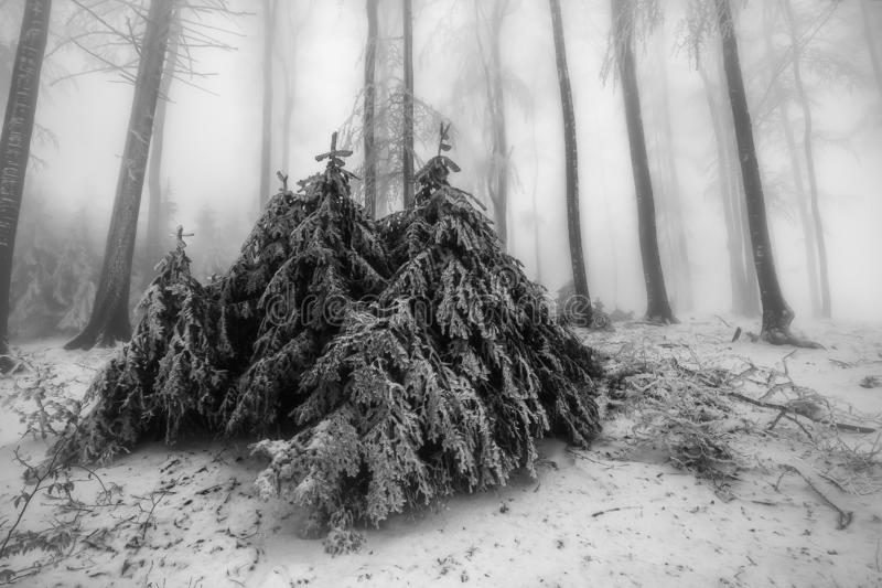 Winter mixed forest. View of winter mixed forest with fog on background stock photos