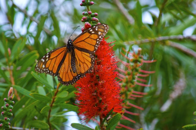 Winter Monarch Butterfly stock image