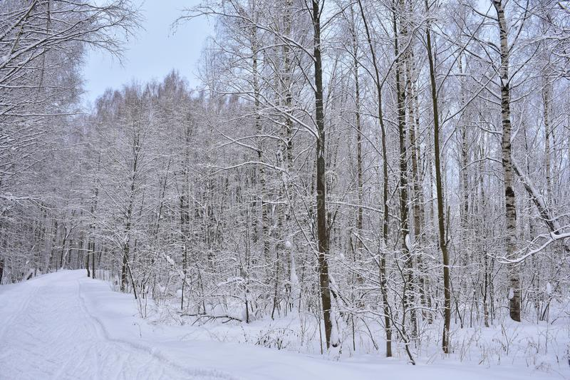 Winter morning in the forest, the forest is still sleeping royalty free stock photos
