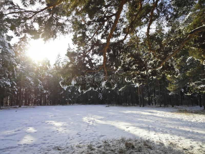 Winter morning in the forest - the sun shines through the pine branches stock photo