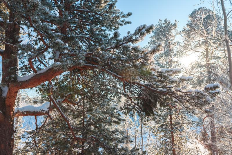 Winter morning scenery, branch of a snow-covered tree in sunshine royalty free stock photos