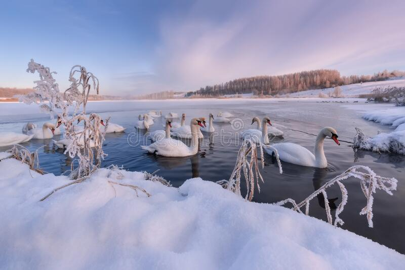 Winter Morning On Swan Lake In Vicinity Of Izborsk.Gorodishchenskoe Lake In Izborsk-Malsky Valley,Pskov Region.Flock Of Wintering  stock image