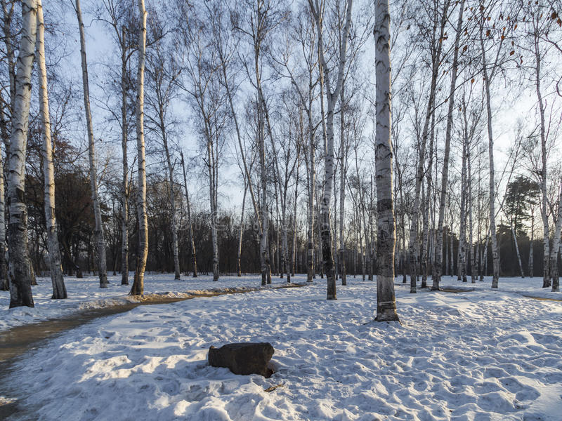 Winter morning woods. Northeast China changchun south lake park of birches, winter morning, under the snow, covered with white snow in the woods, all around is royalty free stock images