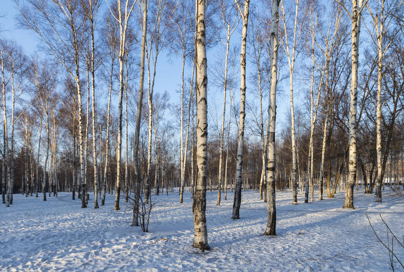 Winter morning woods. Northeast China changchun south lake park of birches, winter morning, under the snow, covered with white snow in the woods, all around is stock photo
