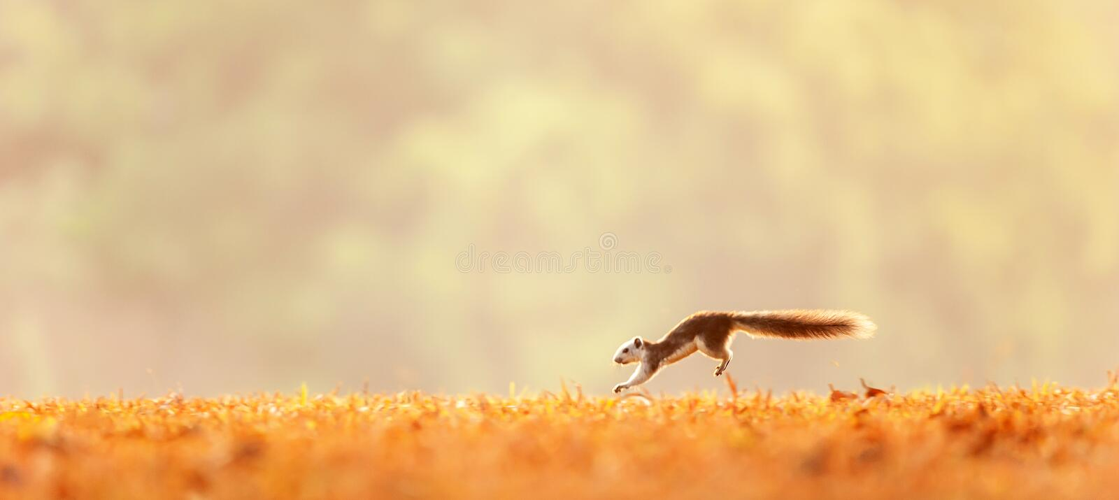 Winter motion, a Variable squirrel running in the golden fields, bright sunrise, evergreen forest blur backgrounds. Khao Yai, stock image