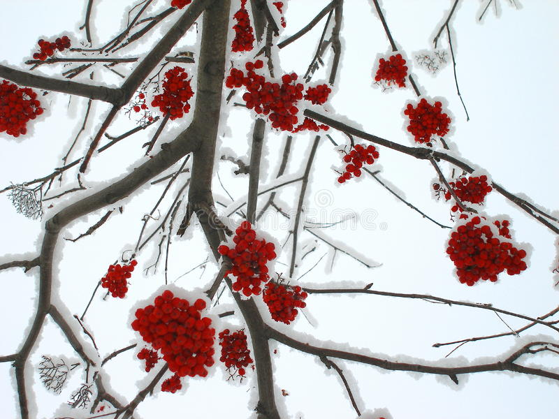 Winter mountain ash. Mountain ash, branches and clusters of berries on snow. Winter, Novosibirsk, Russia royalty free stock photo