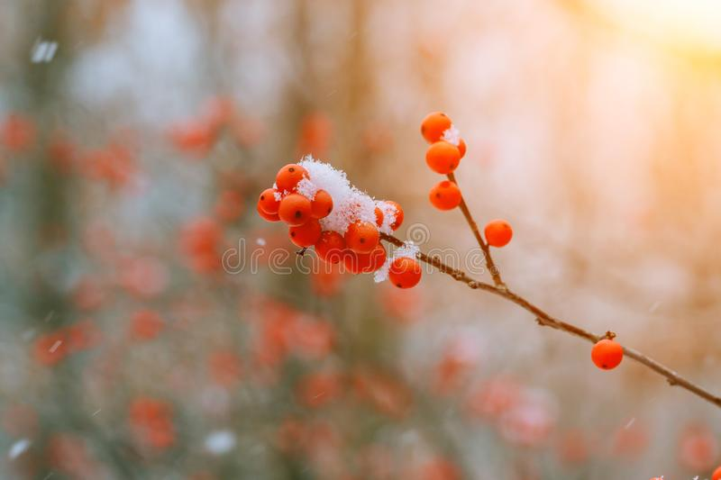 Winter ashberry under the snow royalty free stock photos