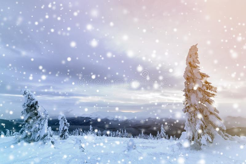 Winter mountain blue landscape. Small spruce trees in deep snow on bright cloudy sky copy space background.  royalty free stock images