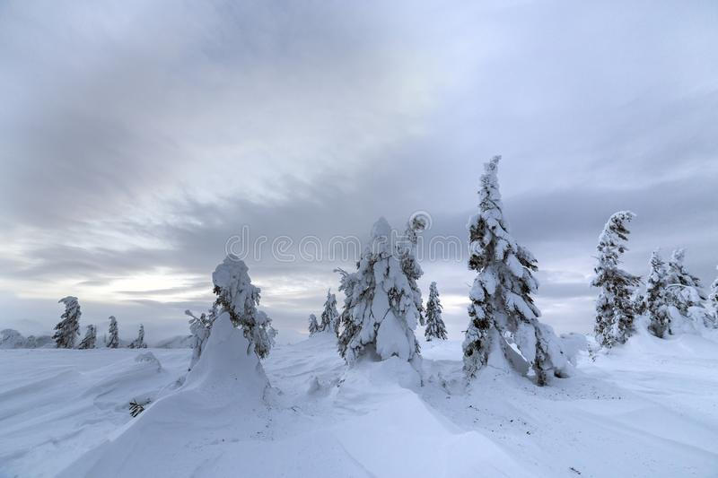 Winter mountain blue landscape. Small spruce trees in deep snow on bright cloudy sky copy space background.  royalty free stock image