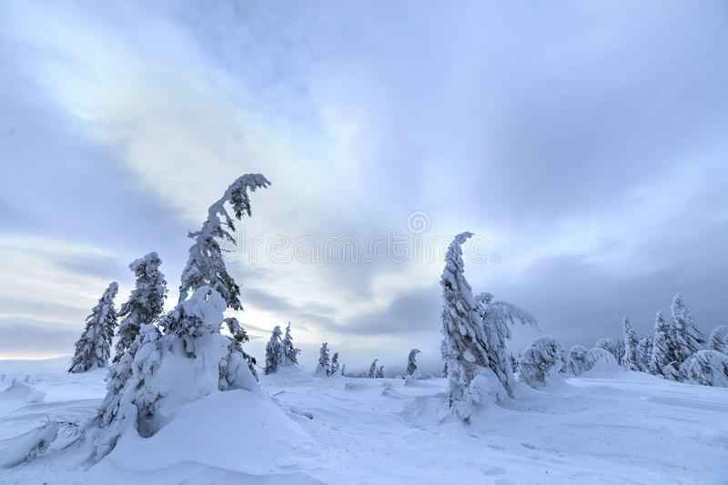 Winter mountain blue landscape. Small spruce trees in deep snow on bright cloudy sky copy space background.  royalty free stock photo