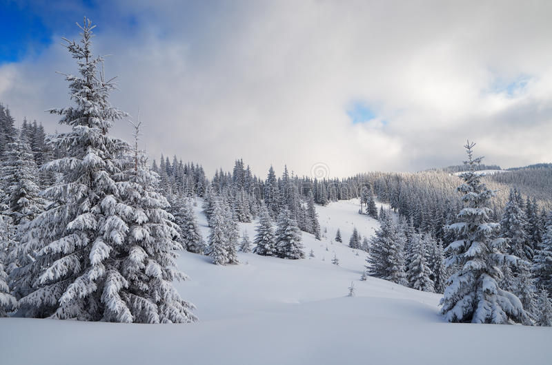 Winter in the mountain forest. Winter mountain landscape with fir forest covered with snow. Carpathian mountains, Ukraine stock image