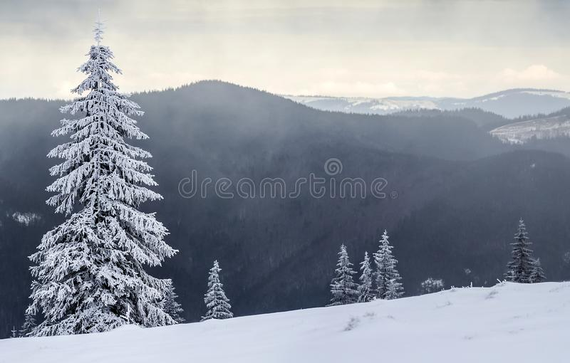 Winter mountain landscape with snow covered pine trees stock photo