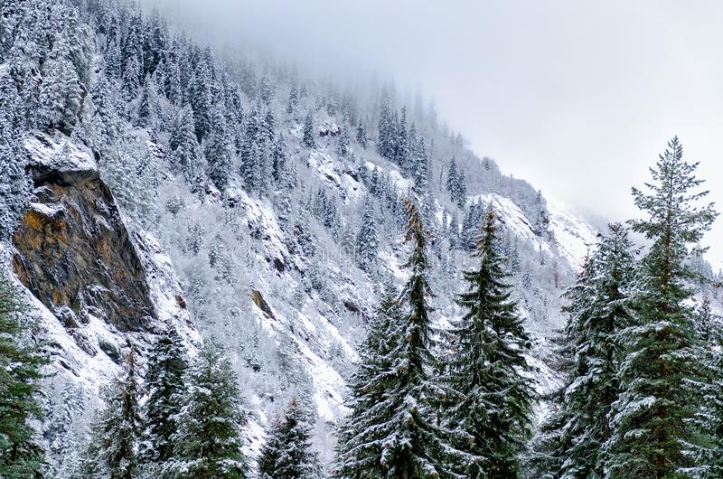 Winter mountain landscape - a view of the mountains, covered with pine and snow, a cloud falls to the top. royalty free stock photos