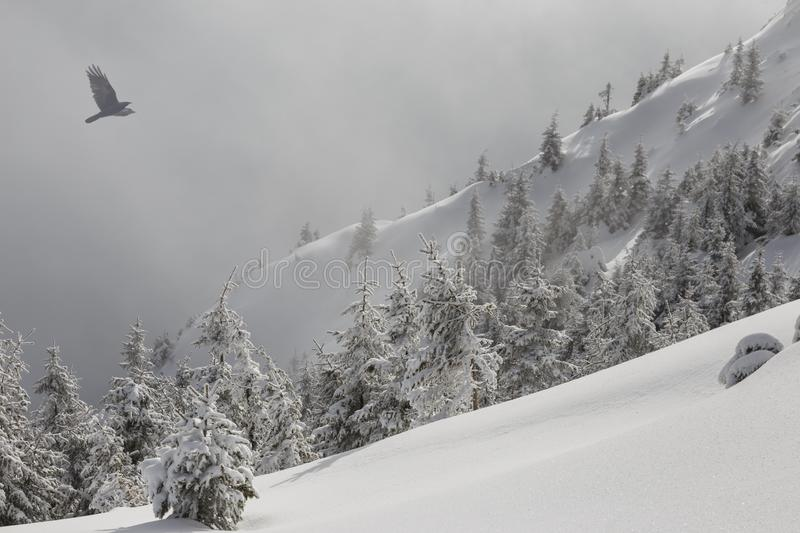 Winter mountain scenery. Pine trees covered with snow on a mountain slope in a light fog, and a flying bird. stock images