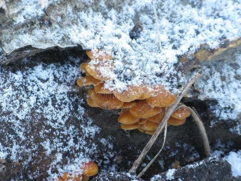 Download Winter mushrooms and snow stock photo. Image of shot - 83702386