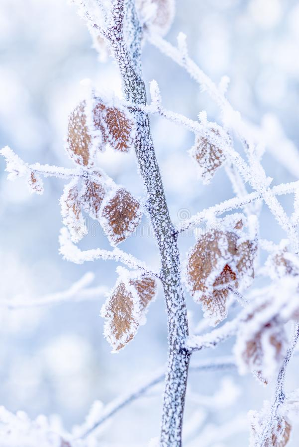Frozen Branch with Leaves. Winter nature background. Frozen branch with leaves closeup. Soft focus, shallow depth of field. SDF stock photography