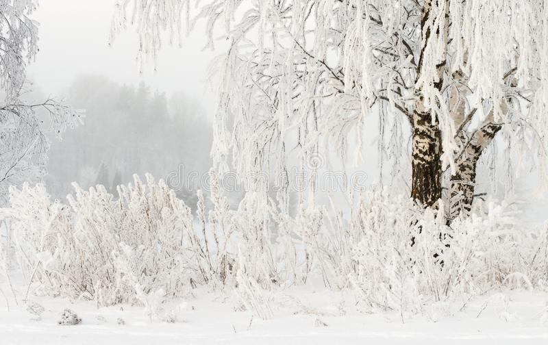 Winter nature background. Hoarfrost on branches of trees. Cold snowy weather. Frosty winter. Snowy plants royalty free stock images