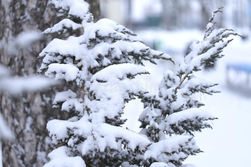 Winter nature background. Side view on the branches of a coniferous plant covered with white snow on a background of a tree trunk. royalty free stock image