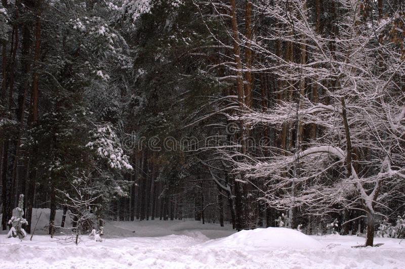 Winter nature Christmas tree in the snow stock photography