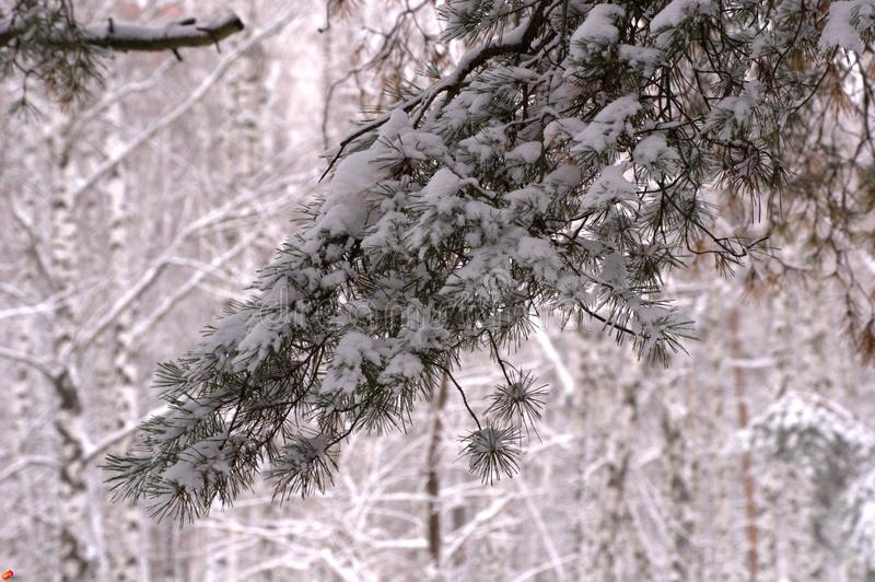 Winter nature Christmas tree in the snow royalty free stock photography