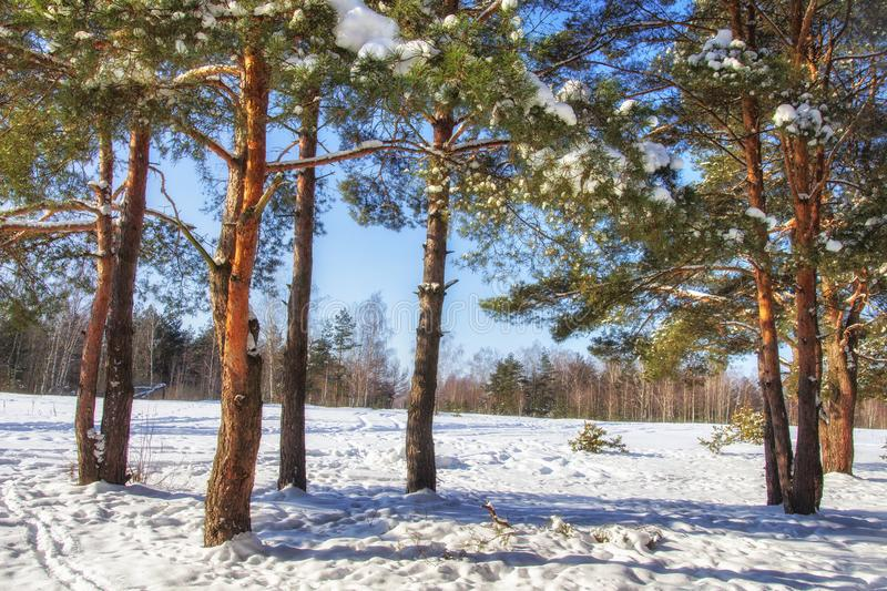Winter nature on sunny clear day. Snowy pine trees in forest. Blue sky on winter day. Frosty beautiful nature royalty free stock images