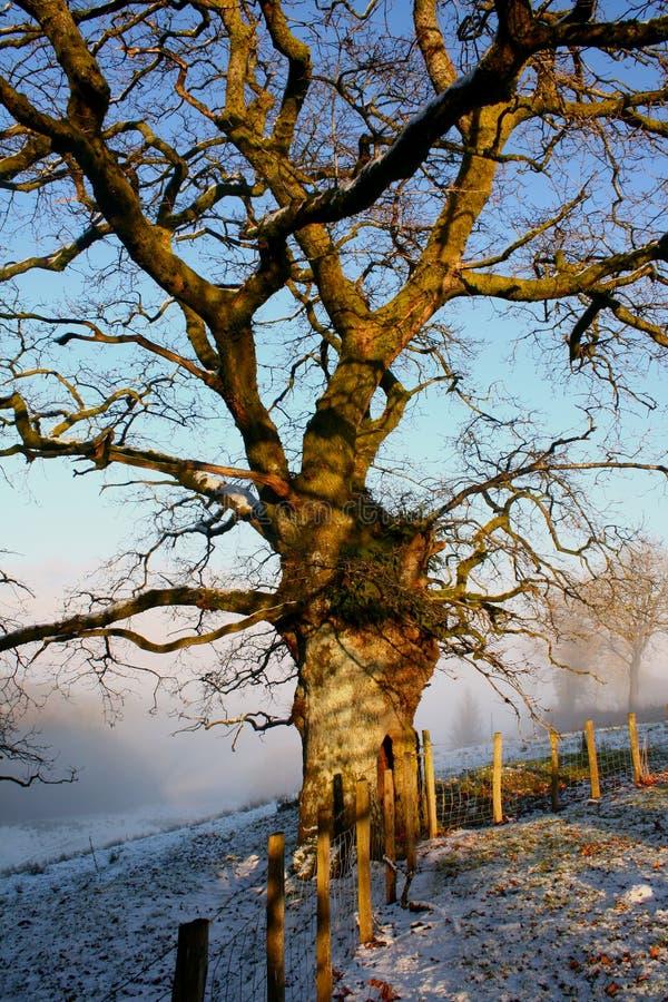 Free Winter Oak Tree Stock Images - 12469024