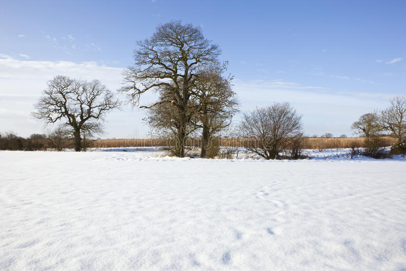 Winter Oak Trees Royalty Free Stock Images