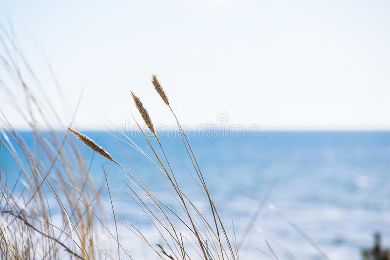Winter in Palanga Dunes with Baltic sea in background and close up of weeds royalty free stock image