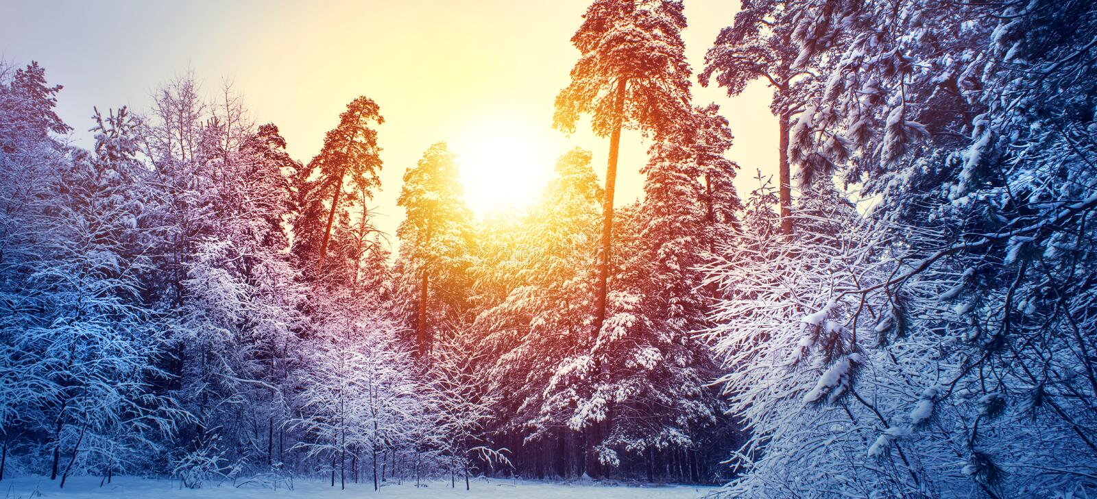 Winter panorama landscape with forest, trees covered snow and sunrise. Winterly morning of a new day. purple winter landscape with sunset, panoramic view royalty free stock photos