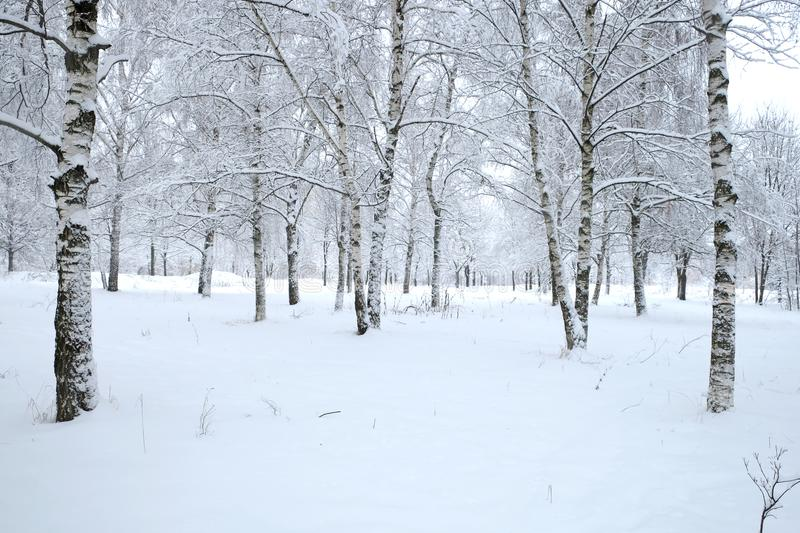 Winter park with birches covered with clean white snow with birch trees with snowy branches in cloudy day royalty free stock photo