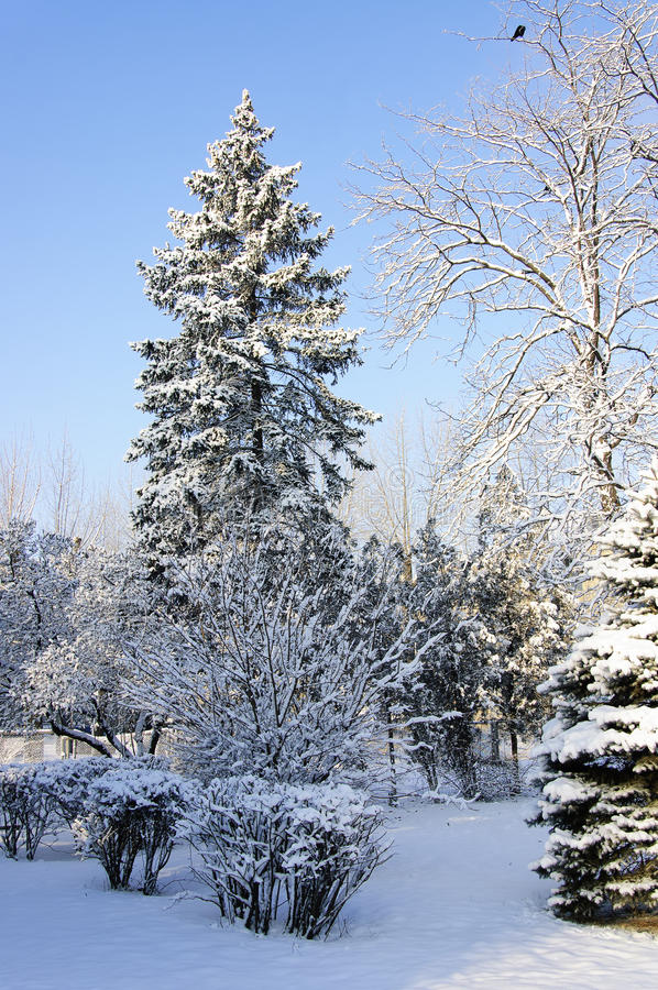 Winter Park. Snowy trees in the park at frosty winter morning royalty free stock photo
