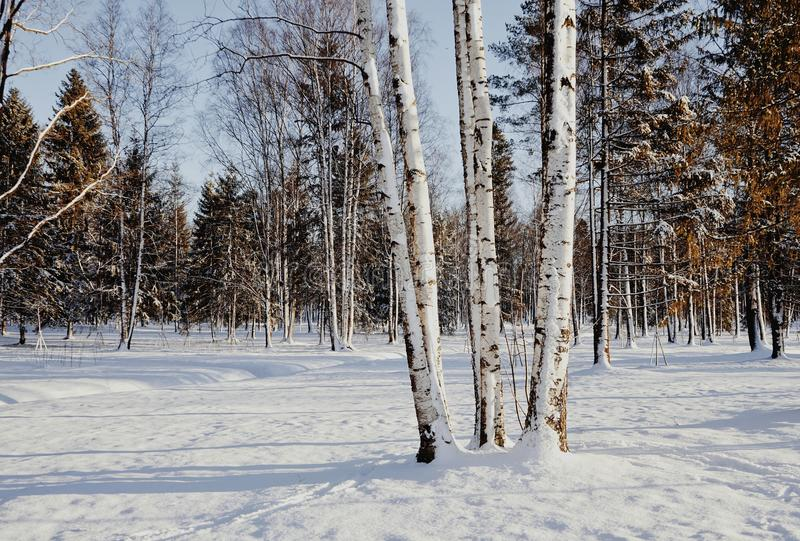 birch trees park cold day winter snow blue sky royalty free stock photo