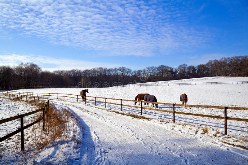 Winter Pasture With Horses Royalty Free Stock Photo